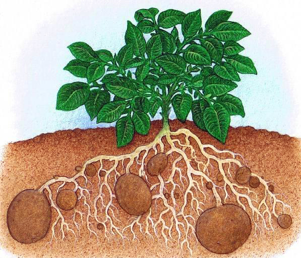 potatoplant.jpg